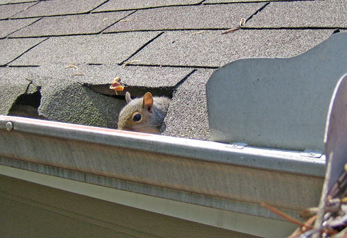 A squirrel finds a new home in someones attic because they didn't have drip edge on their roof.